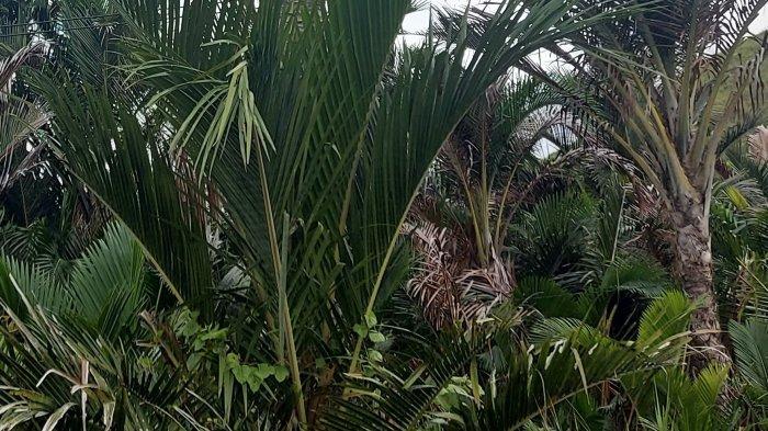 Akibat Pembangunan dan Mesin, Pohon Sagu Terancam Punah