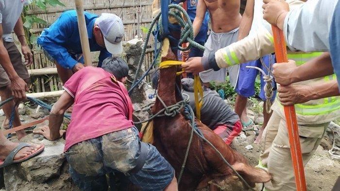 Sapi 150 Kg Jatuh ke Sumur Sedalam 10 Meter, Evakuasi Berlangsung Selama 2 Jam