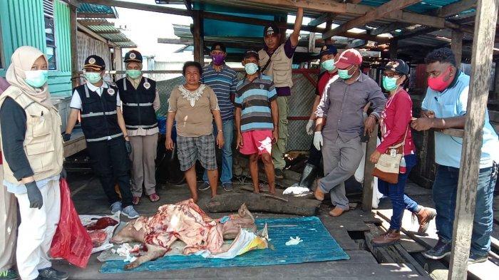 Wabah ASF Masuk Papua Barat, Hewan Ternak Warga Manokwari dan Manokwari Selatan Mati