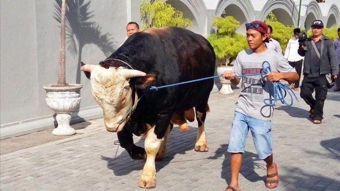 Penampakan Sapi-sapi Kurban Jokowi yang Disumbangkan ke Sejumlah Wilayah di Indonesia