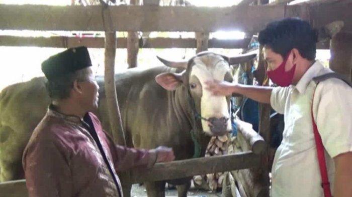 'Puang Tedong' Sapi Kurban Jokowi, Dipijat hingga Dimandikan 3 Kali Sehari oleh Peternaknya