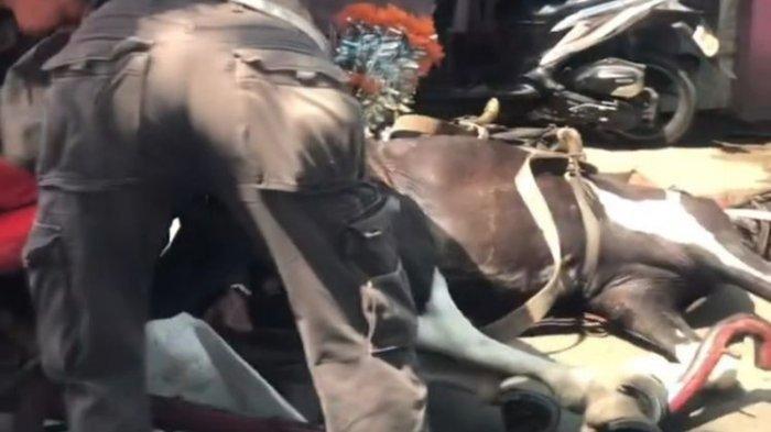 Viral Video Kuda Penarik Delman Terkapar di Jalan, Saksi: Kuda Jatuh, Saya Lihat Kejang-kejang