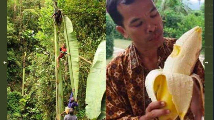 Viral Foto Pohon dan Buah Pisang Raksasa dari Papua, Ini Kata LIPI