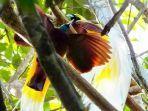 burung-cenderawasih-1.jpg