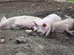 ilustrasi-babi-di-kubangan-lumpur.jpg