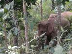 ilustrasi-gajah-liar-masuk-permukiman-warga-di-semaka-tanggamus.jpg