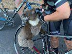 koala-di-australia-meminta-minum-kepada-para-pesepeda-yang-melintas.jpg