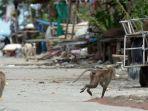 monyet-ekor-panjang-berlari-sambil-membawa-makanan-yang-dicuri-dari-rumah-rumah-penduduk.jpg