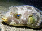pufferfish-atau-ikan-buntal-di-tasitolu-dili-timor-leste.jpg