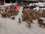 sekelompok-monyet-ketika-menginvasi-jalanan-di-lopburi-thailand.jpg