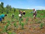 tingkatkan-produksi-hasil-panen-babinsa-bantu-petani-jagung.jpg