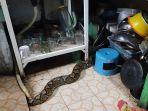 ular-piton-atau-sanca-kembang-yang-ditemukan-di-warung-di-jalan-gajah-mada-kota-malang-t.jpg