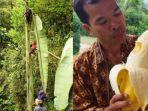 viral-unggahan-pisang-raksasa-bernama-musa-ingens-dari-papua.jpg