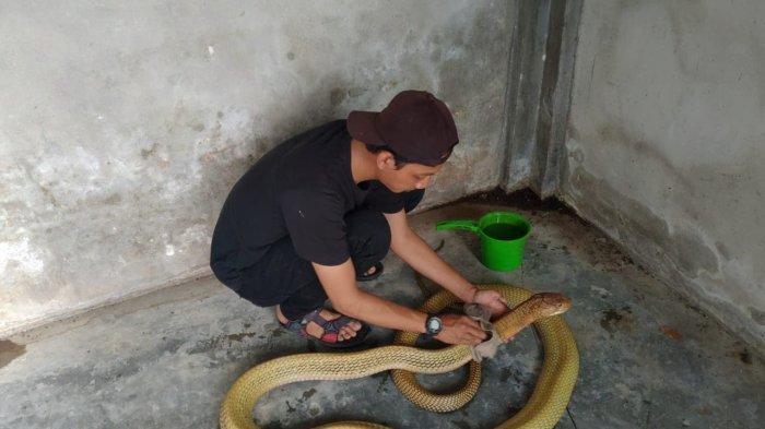 Intip Keseharian Amar yang Sering Taklukkan Ular di Riau, Tak Takut Saat Mandikan King Kobra