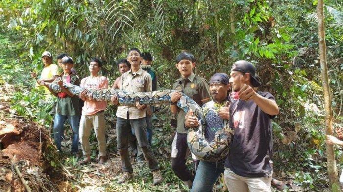 Amar bersama warga memegang ular piton raksasa yang ditangkapnya di Desa Sungai Buluh, Kecamatan Bunut, Kabupaten Pelalawan Riau