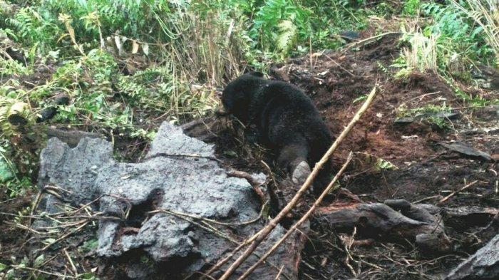 Anak Beruang Madu Terjerat Perangkap Babi di Giam Siak Kecil, Induk Beruang Ikut Menemani