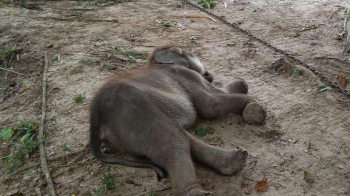 Sempat Dirawat 2 Bulan Pasca Luka Parah Akibat Terjerat, Gajah Puan Pandan Wangi Mati di PLG Minas