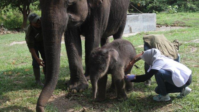 Atasi Konflik dengan Manusia, Yayasan TNTN Patroli dengan 3 Ekor Gajah Jinak