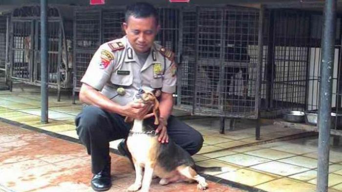 Anjing Kampung Asli Indonesia Pernah Dites Jadi Anjing Pelacak Tribun Pekanbaru