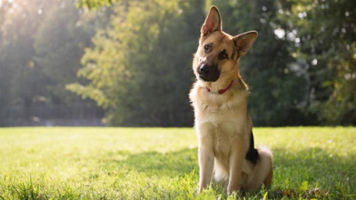 Anjing Liar Serang Ternak Warga di Kepulauan Meranti, Kondisi Ini Meresahkan Warga
