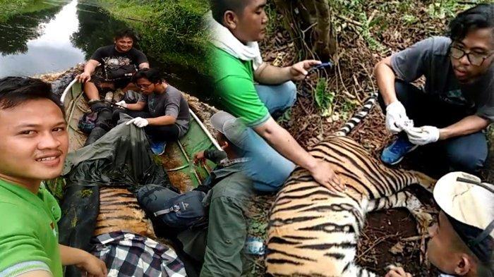 BBKSDA Riau Evakuasi Harimau Sumatera yang Terjerat di Konsesi HTI, Begini Penjelasan PT RAPP