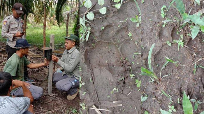 BBKSDA Riau Temukan Jerat Dekat Jejak Harimau Sumatera, Pasang 2 Kamera Trap Pantau Panthera Tigris