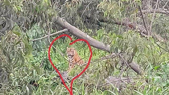 Beredar Lagi Foto Si Belang di Hutan Pasca Penemuan Jejak Kaki Harimau di Riau, Kades: Diragukan