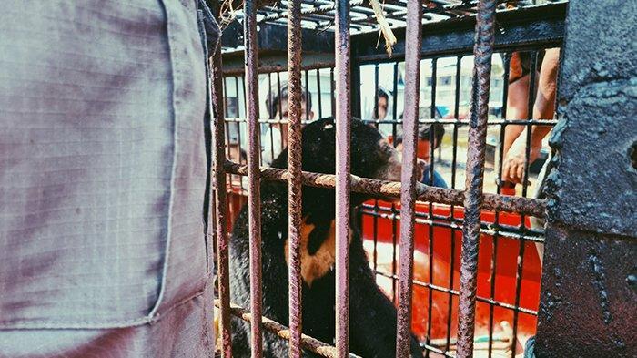 Proses evakuasi anak beruang madu diserahkan kepada pihak BKSDA Riau di Pelabuhan Lasdap Tembilahan, Kamis (29/7/2021).
