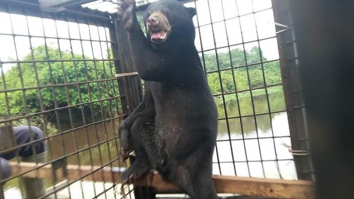 Pulaga dan Kana, sepasang beruang madu dievakuasi dari daerah perkebunan warga di Desa Pulau Gelang, Kecamatan Kuala Cenaku, Inhu ke habitat aslinya di SM Kerumutan.