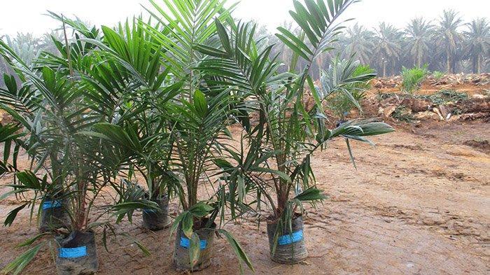 Dibayangi Bibit Palsu, Dinas Pertanian Kuansing Riau Tetap akan Bagikan Bibit Sawit Gratis Tahun Ini