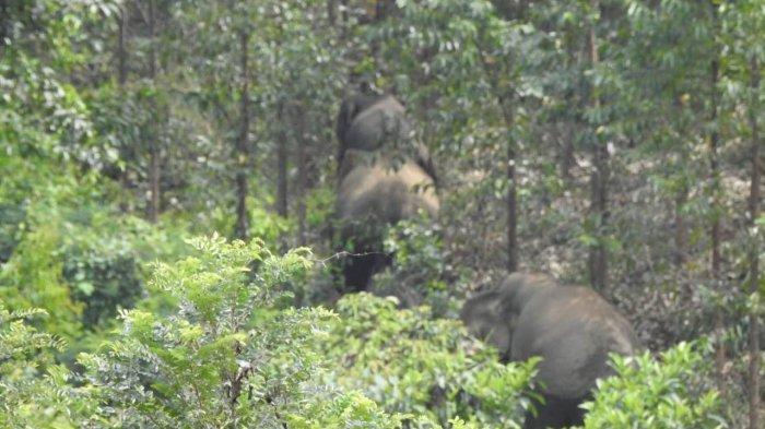 2 Gajah Jantan Liar Terpisah dari Kawanan, Rusak Kebun Warga di Inhu, Ini yang dilakukan BBKSDA