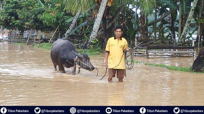 Benih Padi Baru Tanam Terancam Busuk,Banjir Kuansing Riau Rusak Ratusan Hektare Sawah