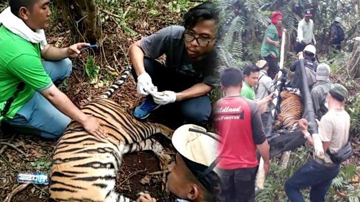DETIK-DETIK Evakuasi Harimau Sumatera Panthera Tigris yang Terjerat di Kawasan Konsesi HTI PT RAPP