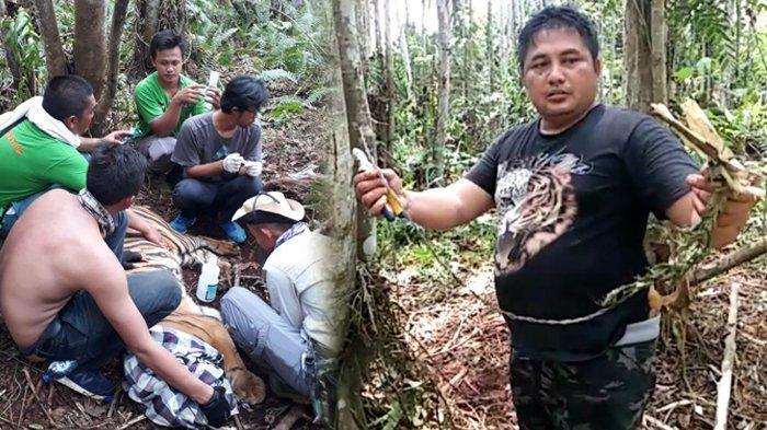 SEMPAT Berontak hingga Tangkai Jerat Patah, Harimau Sumatera di Riau Terpaksa Dievakuasi