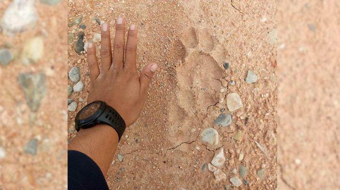 Penemuan Jejak Kaki Harimau di Pelalawan, BBKSDA Riau Ungkap Penyebab Si Belang Keluar Habitat