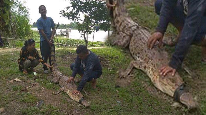 Buaya Nyangkut di Jaring, Kakek Nelayan di Pelalawan Ini Malah Bawa Pulang