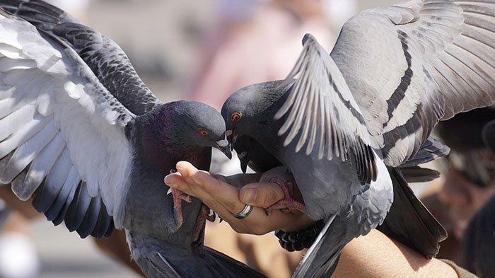 Gara-gara Burung Dara Mati, Warga Ini Diminta Bayar Rp 2,5 Juta, Ternyata Begini Pengakuan Pemilik