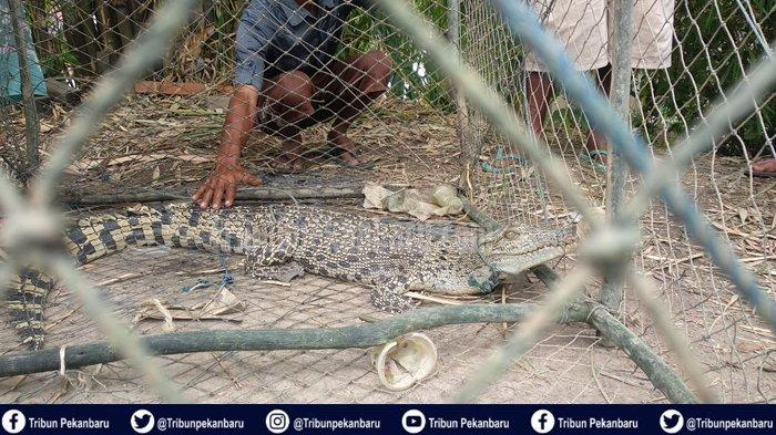 BUAYA di Sungai Siak Pekanbaru Terjerat Perangkap Ikan Warga Rumbai Pesisir, Panjangnya 1.5 Meter