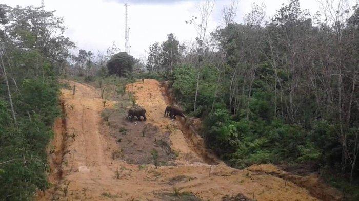 Dua Ekor Gajah Liar Terlihat Masuki Wilayah Dekat Permukiman di Kelayang Inhu Riau