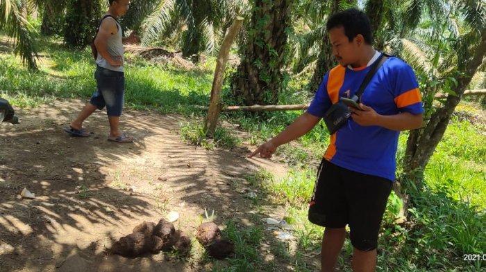 Dua Ekor Gajah Liar Masuk Kebun Warga di Pelalawan, BKSDA Riau akan Turunkan Tim Mitigasi