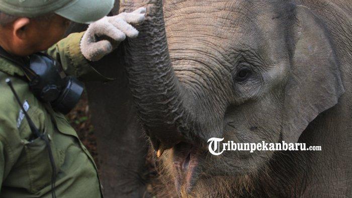 FOTO: Gajah Jinak TNTN Stres Akibat Kebakaran Hutan di Riau, Diungsikan ke Lokasi yang Jauh - foto_gajah_jinak_tntn_stres_akibat_kebakaran_hutan_di_riau_diungsikan_ke_lokasi_yang_jauh_2.jpg
