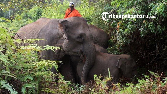 FOTO: Gajah Jinak TNTN Stres Akibat Kebakaran Hutan di Riau, Diungsikan ke Lokasi yang Jauh - foto_gajah_jinak_tntn_stres_akibat_kebakaran_hutan_di_riau_diungsikan_ke_lokasi_yang_jauh_3.jpg