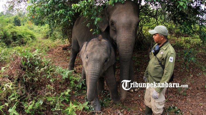 FOTO: Gajah Jinak TNTN Stres Akibat Kebakaran Hutan di Riau, Diungsikan ke Lokasi yang Jauh - foto_gajah_jinak_tntn_stres_akibat_kebakaran_hutan_di_riau_diungsikan_ke_lokasi_yang_jauh_4.jpg