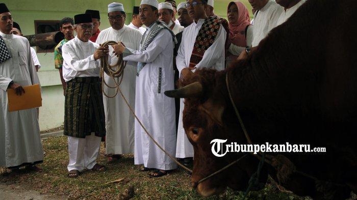 FOTO: Inilah Sapi Presiden yang Akan Dikurbankan di Masjid Agung An Nur Riau Pekanbaru - foto_inilah_sapi_presiden_yang_akan_dikurbankan_di_masjid_agung_an_nur_riau_pekanbaru_1.jpg