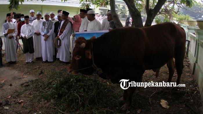FOTO: Inilah Sapi Presiden yang Akan Dikurbankan di Masjid Agung An Nur Riau Pekanbaru - foto_inilah_sapi_presiden_yang_akan_dikurbankan_di_masjid_agung_an_nur_riau_pekanbaru_2.jpg