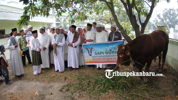 FOTO: Inilah Sapi Presiden yang Akan Dikurbankan di Masjid Agung An Nur Riau Pekanbaru - foto_inilah_sapi_presiden_yang_akan_dikurbankan_di_masjid_agung_an_nur_riau_pekanbaru_3.jpg