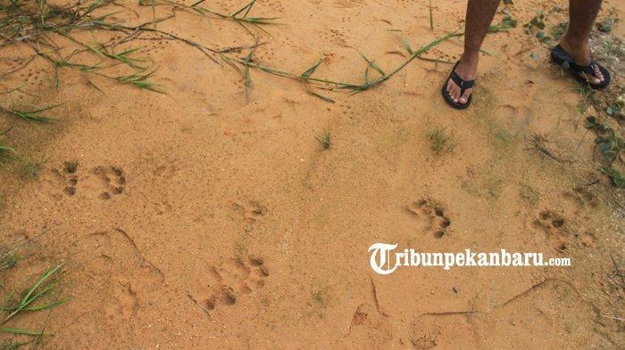 Penemuan Jejak Kaki Harimau Sumatera di Kampar, Ini Kata BBKSDA Riau Soal Berapa Ekor