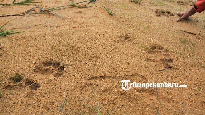 BREAKING NEWS: Lagi, Penemuan Jejak Kaki Harimau Sumatera, Kini di Kec Tambang Kampar Riau