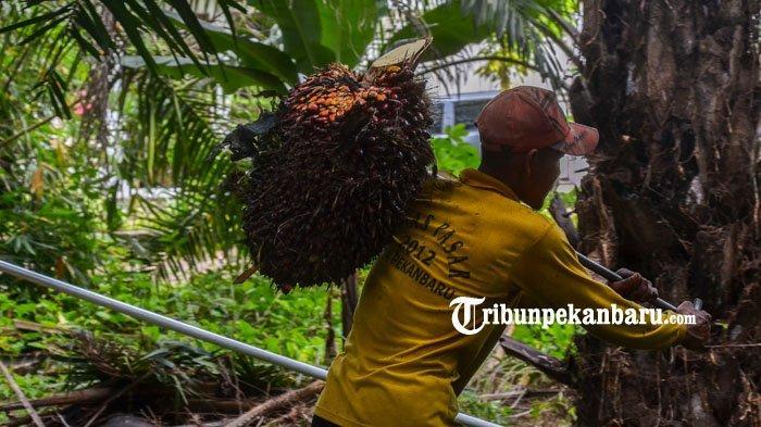 Daftar Harga TBS Kelapa Sawit Riau Periode 3-9 Maret 2021, Ini Pemicu Naiknya Harga TBS Sawit