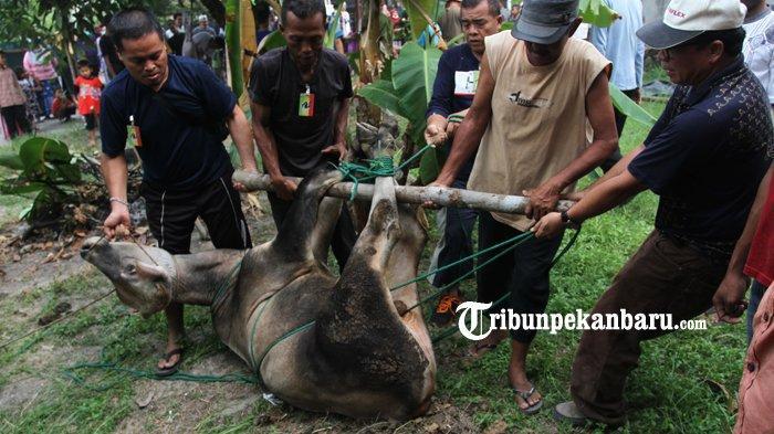 FOTO: Pemotongan Hewan Kurban di Rumbai Pesisir Pekanbaru Berlangsung Lancar - foto_pemotongan_hewan_kurban_di_rumbai_pesisir_pekanbaru_berlangsung_lancar_1.jpg